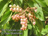 Arbutus sp., Strawberry Tree, Madrone  Click to see full-size image