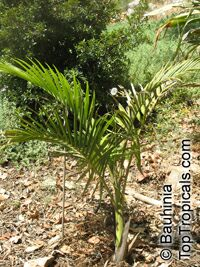 Archontophoenix cunninghamiana, Bangalow Palm, Seaforthia Palm  Click to see full-size image