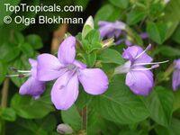 Barleria obtusa - Bush Violet  Click to see full-size image