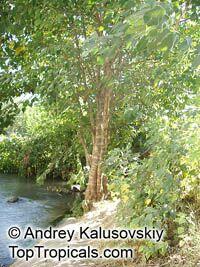 Broussonetia papyrifera, Morus papyrifera, Paper Mulberry  Click to see full-size image