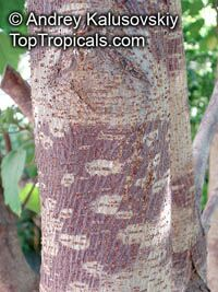 Broussonetia papyrifera, Morus papyrifera, Paper MulberryClick to see full-size image