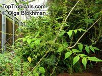 Brucea javanica, Brucea sumatrana , Java Brucea, Kusam Seeds, Macassar KerneltreeClick to see full-size image