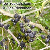 Brucea javanica, Brucea sumatrana , Java Brucea, Kusam Seeds, Macassar Kerneltree  Click to see full-size image