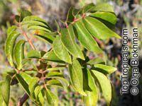 Bursera simaruba, Gumbo-Limbo, West Indian Birch, Tourist Tree  Click to see full-size image