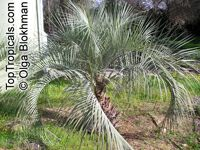 Butia eriospatha, Cocos eriospatha , Jelly Palm  Click to see full-size image