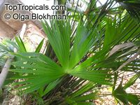 Carludovica sp., Carludovica Palm, Jungle Drum  Click to see full-size image
