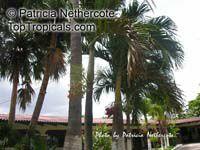 Carpentaria acuminata, Carpentaria Palm  Click to see full-size image
