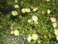 Carpobrotus edulis, Highway Iceplant, Hottentot Fig, Iceplant  Click to see full-size image