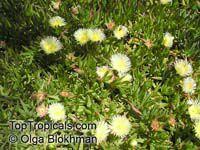 Carpobrotus edulis, Highway Iceplant, Hottentot Fig, IceplantClick to see full-size image
