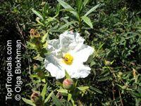 Cistus ladanifer, Gum Rockrose, Crimson-spot Rockrose Click to see full-size image