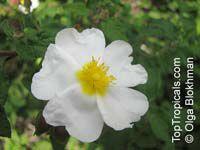 Cistus salviifolius, Sageleaf Rockrose, Salvia Cistus  Click to see full-size image