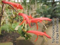 Columnea sp., Flying Goldfish Plant  Click to see full-size image
