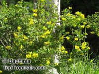 Coronilla valentina, Coronilla glauca, Crown vetch  Click to see full-size image