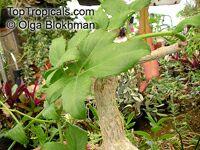 Cyphostemma bainesii, Cissus bainesii, Vitis bainesii, African Tree Grape, Gouty Vine, Butterwood Tree  Click to see full-size image