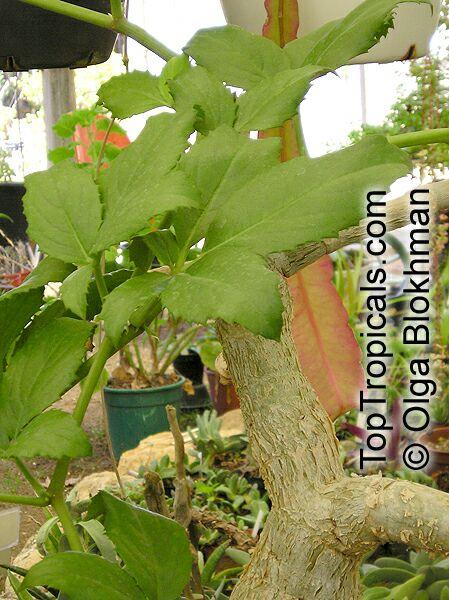 Veldt Grape Cissus Quadrangularis: Тропики на подоконнике