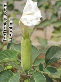 Datura innoxia, Datura meteloides, Thorn Apple, Moonflower, Toloache, Jimson Weed, Angel's Trumpet, Stinkweed, PricklyburrClick to see full-size image