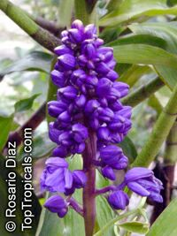 Dichorisandra thyrsiflora, Blue Ginger, Brazilian Ginger  Click to see full-size image