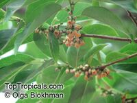Diospyros lotus - seeds  Click to see full-size image