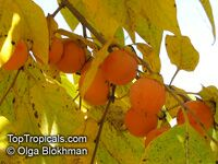 Diospyros virginiana - Persimmon Triumph, Low chill, Grafted  Click to see full-size image