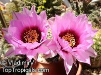 Echinocereus sp., Hedgehog Cactus  Click to see full-size image