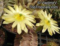 Echinocereus sp., Hedgehog CactusClick to see full-size image