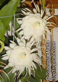 Epiphyllum oxypetalum, Belle de Nuit, Lady of the Night, Queen of the Night, Night blooming Cereus, Dutchman's Pipe