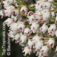 Erica arborea, Tree Heath, Bruyere   Click to see full-size image