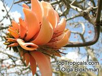 Erythrina caffra - South African Coral tree, Kaffirboom