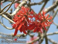 Erythrina latissima, Broad-leaved Coral Tree
