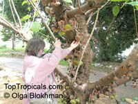 Ficus auriculata, Ficus roxburghii, Elephant ear fig tree, Giant Indian Fig