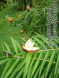 Freycinetia cumingiana, Freycinetia multiflora, Climbing Pandanus, Flowering Pandanus  Click to see full-size image