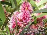 Hakea multilineata, Grass-leaved Hakea  Click to see full-size image
