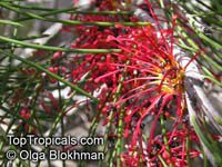 Hakea orthorrhyncha, Bird Beak Hakea  Click to see full-size image