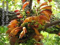Halleria lucida , Tree Fuchsia   Click to see full-size image