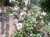 Hibiscus syriacus, Blue Hibiscus, Rose of SharonClick to see full-size image