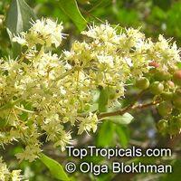 Lawsonia inermis - HennaClick to see full-size image