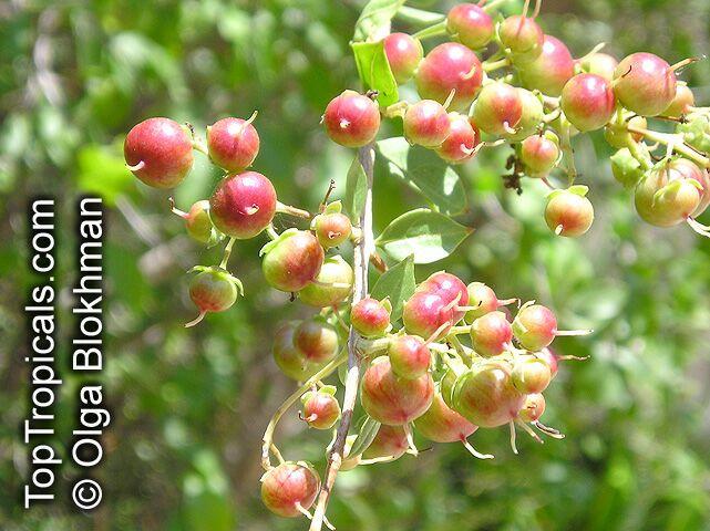 Lawsonia Inermis Henna Toptropicals Com