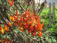 Lotus berthelotii , Coral Gem, Pelican Beak, Parrot Beak Click to see full-size image
