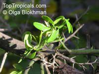 Citrus australasica, Microcitrus australasica, Finger Lime  Click to see full-size image