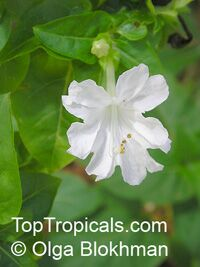 Mirabilis jalapa, Mirabilis lindheimeri, Mirabilis dichotoma, Mirabilis odorata, Four o'clock plant, Clavillia, Jalap, Maravilla, Bonina  Click to see full-size image