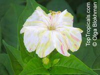 Mirabilis Jalapa, Mirabilis lindheimeri, Mirabilis dichotoma, Mirabilis odorata, Four o'clock plant, Clavillia, Jalap, Maravilla, BoninaClick to see full-size image