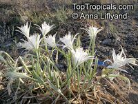 Pancratium maritimum, Sea Daffodil, Sea Lily, Sand Lily, Havatselet ha'Sharon  Click to see full-size image