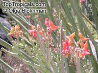 Euphorbia lomelii, Pedilanthus macrocarpus, Slipper Plant, Gallito  Click to see full-size image