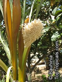 Phoenix dactylifera, Date Palm  Click to see full-size image