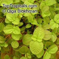 Pilea nummulariifolia, Creeping Charlie  Click to see full-size image