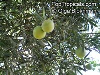 Podocarpus falcatus, Outeniqua Yellowwood  Click to see full-size image