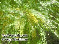 Prosopis juliflora, Velvet mesquite  Click to see full-size image