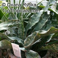 Sansevieria kirkii, Star Sansevieria, Spotted Snake Plant  Click to see full-size image