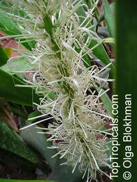 Sansevieria liberica, Sansevieria gentilis, Kaba KaraClick to see full-size image