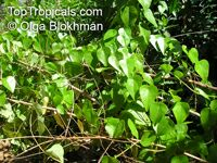 Stephania japonica , Snake Vine  Click to see full-size image